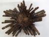 Oursin crayon - océan indien (récent)