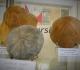 Clypeaster, Echinolampas, Clypeus ploti