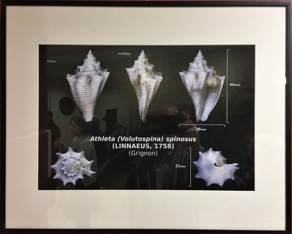 La planche Athleta spinosus de Delphin.