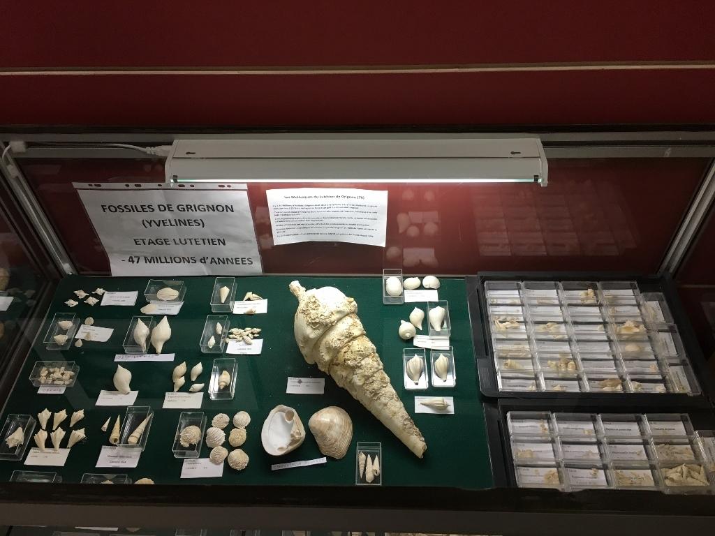 La vitrine des fossiles de Grignon.