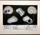 La planche Cirsochilus lamarckii de Delphin.