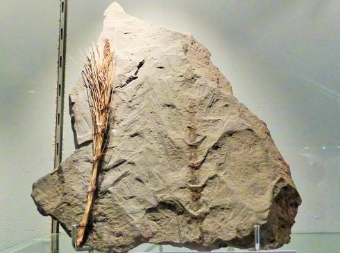 Museum Autun - Calamites sp