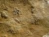 09-08 Paléontologie: Traces de petits reptiles protocrocodiliens, Batrachopusdeweyi, Lotharingien (Sinémurien sup.), Sauclières Photo Site du Musée de Millau