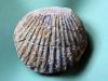 09-09 Pseudopectenaequivalvis Domérien d : 12cm