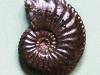 09-10 Amaltheusmargaritatus, Domérien d : 4cm