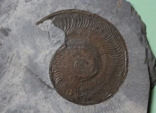 09-13 Harpoceras falciferum Toarcien inférieur d : 9cm