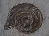 09-14 Dactylioceras sp. Toarcien inférieur D : 4,5cm