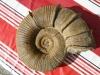 05-01 Lytoceras fimbriatum, Pliensbachien ( collection de Guy )