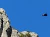 11-11 Vallée de la Jonte: Atterrissage du vautour fauve de 18h00