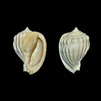 6 - Cassis (Morionella) harpaeformis : forme typique Grignon 40mm