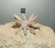 Au museum de La Rochelle: Balanocidaris marginata: radioles en connexion