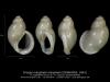GA110-33 Cirsope marginata marginata