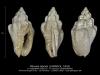 GA202-10 Mitreola labiata