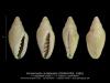 GA208-11 Volvarinella contabulata