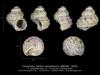 GA33-15' Cirsochilus caillati manophorus