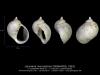 GA68-01 Lacunaria macrostoma