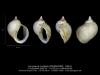 GA68-02 Lacunaria turgida