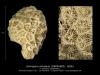 Goniopora ameliana