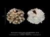 Stylocoenia monticularia