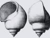 Pachycrommium hybridum GA064bis-1