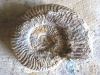 3-ammonite 1 presque finie