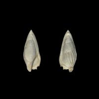 Ectinochilus canalis - Bel exemplaire adulte âgé - Notez le retour exceptionnellement important du prolongement du labre sur la face dorsale - Grignon - 17 mm