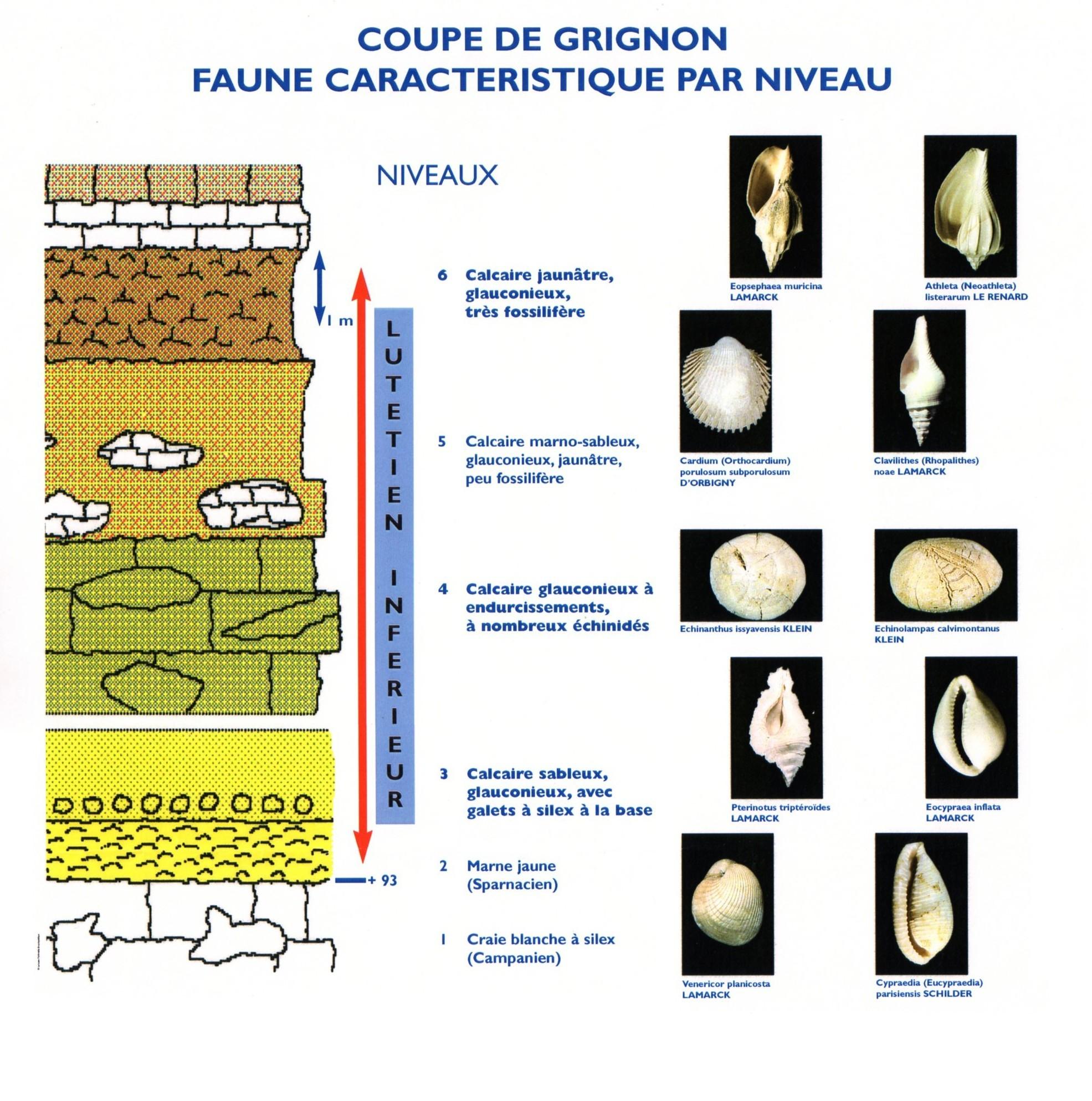 Coupe de Grignon, Lutétien inférieur