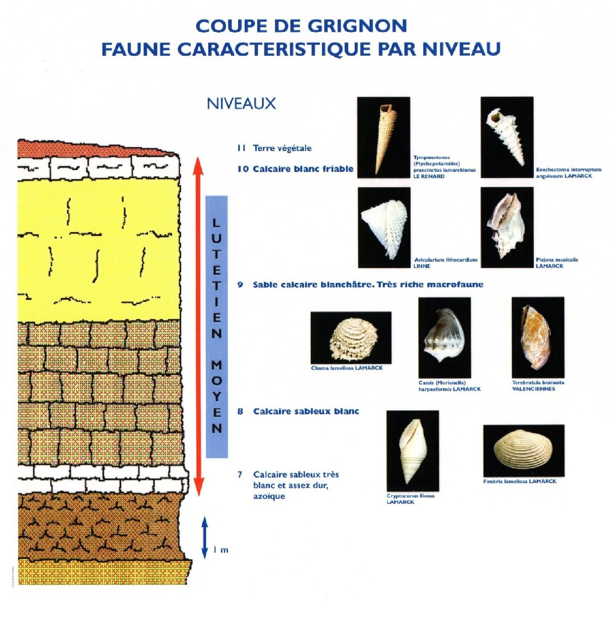 Coupe de Grignon, Lutétien moyen