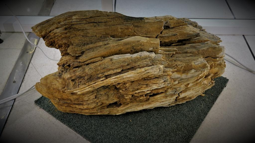 Bois fossile trouvé par le club à Villejust 77