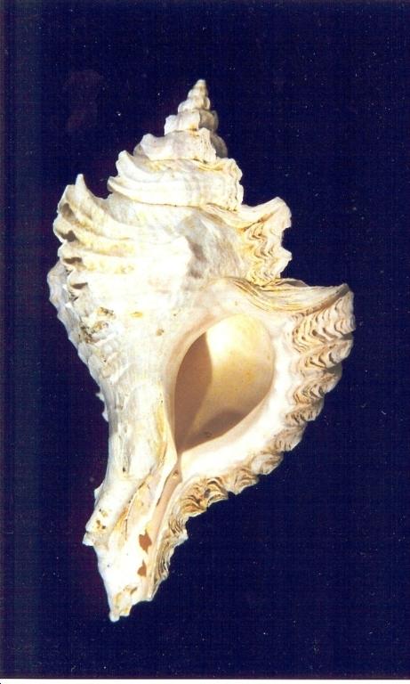 Timbellus crenulatus tricarinatus - Photos Didier Kauffmann et Maryse Le Gal