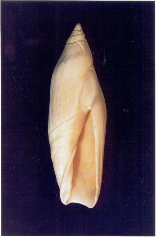 Ancillarina canalifera - Photo Didier Kauffmann et Maryse Le Gal