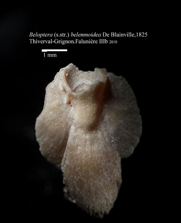 Beloptera belemnoïdea (Céphalopode) - Photo Hervé Lapierre