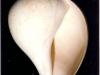 Sycostoma bulbus - Photo Didier Kauffmann et Maryse Le Gal