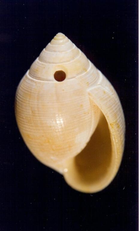 Hemiauricula conovuliformis - Photo Didier Kauffmann et Maryse Le Gal