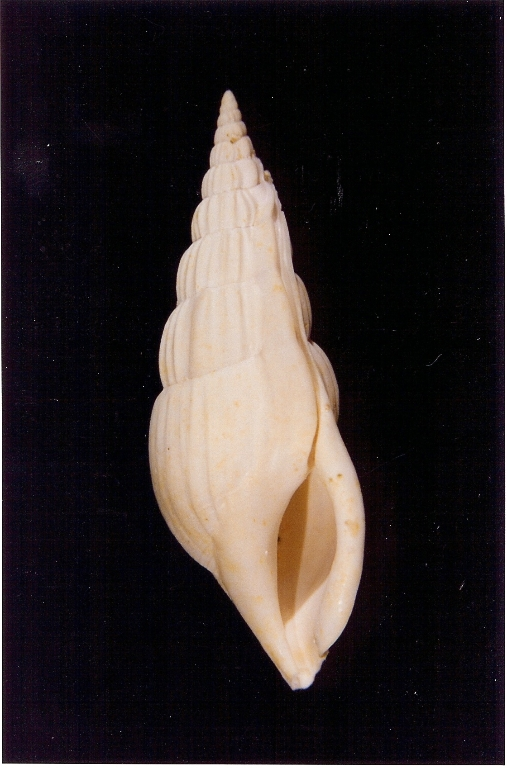 Rimella fissurella - Photo Didier Kauffmann et Maryse Le Gal