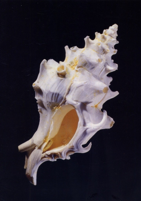 Typhis tubifer - Photo JP Guyon