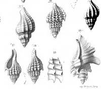 Description des animaux sans vertèbres découverts dans le bassin de Paris, Atlas T2  pl. 87 , Deshayes (1866),s 3