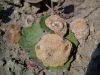 Les premières ammonites de Yann et Begonia. Photo Yann