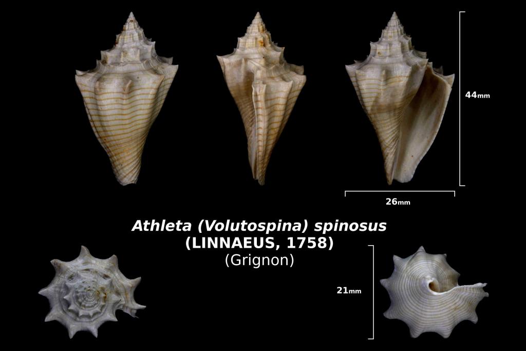 Athleta (Volutospina) spinosus trouvé en avril 2018 dans la couche à campaniles - photo Delphin 08 2018