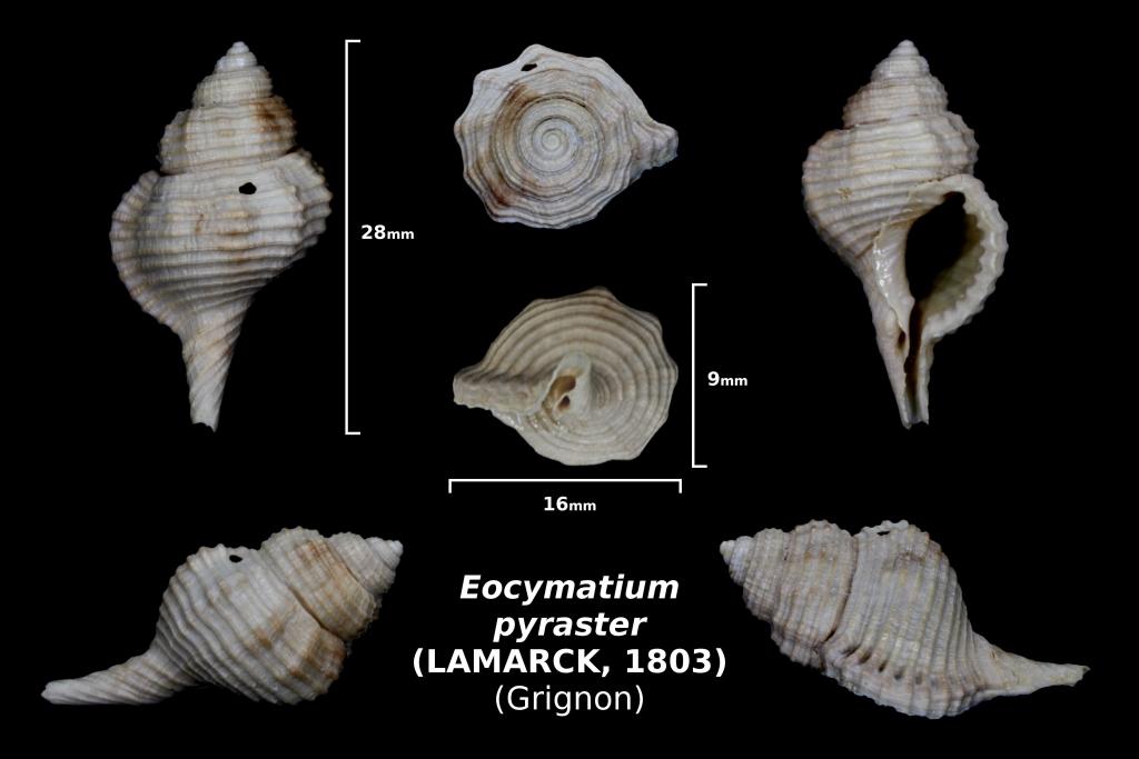 Eocymatium pyraster - photo Delphin 05/18