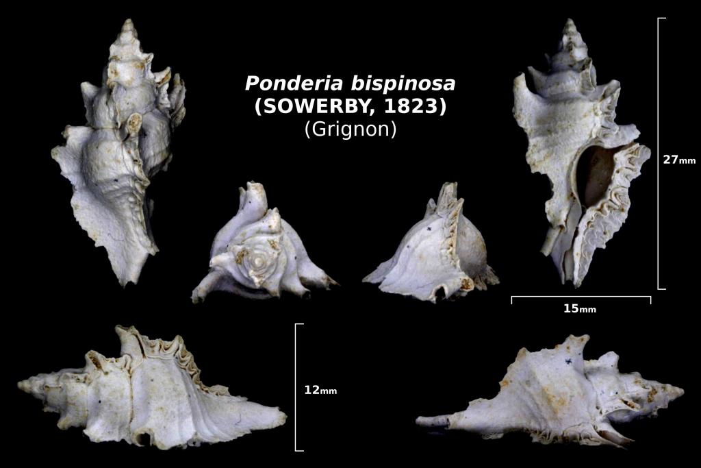 Ponderia bispinosa - trouvé en avril 2018 dans la couche à Térébratules - photo Delphin 08/18
