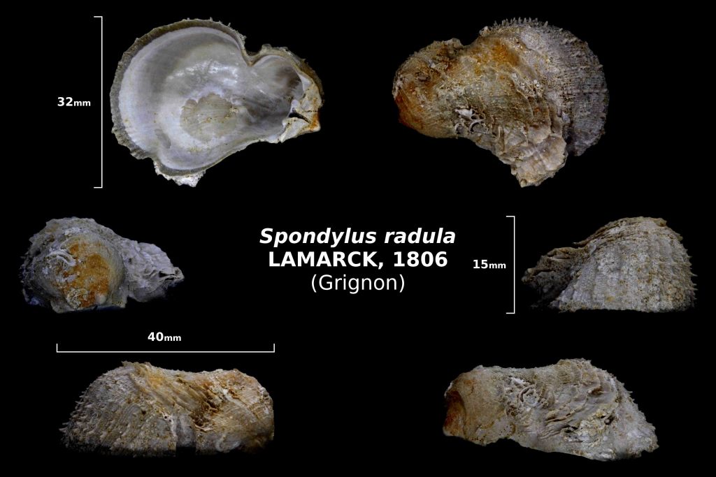 Spondylus radula - photo Delphin 08/18