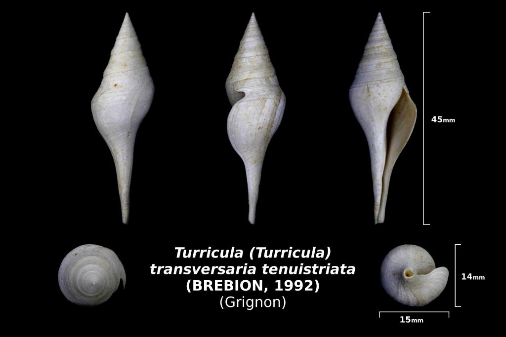 Tirricula (Turricula) transversaria tenuistriata - trouvé dans la couche à oursins en nov 2017 - photo Delphin 08/18