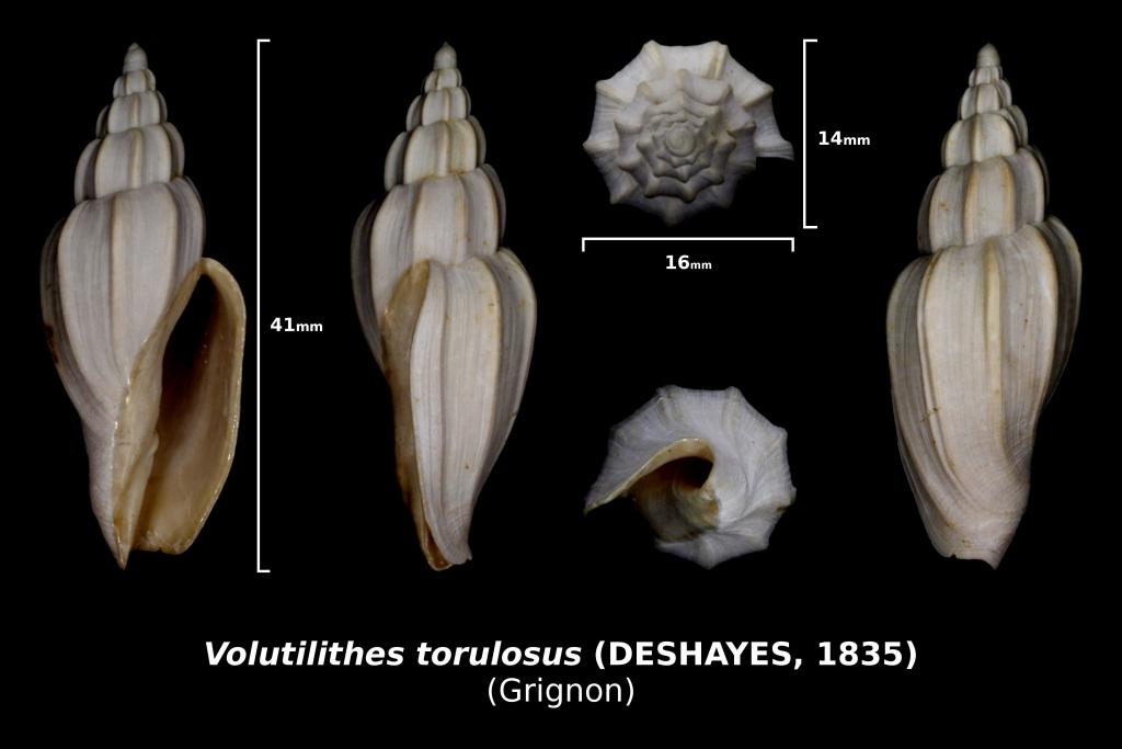 Volutilithes torulosus - photo Delpin 05/18