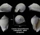 Cassis harpaeformis trouvé en janvier 2018 dans le cordon à tempêtes - photo Delphin 03 2018
