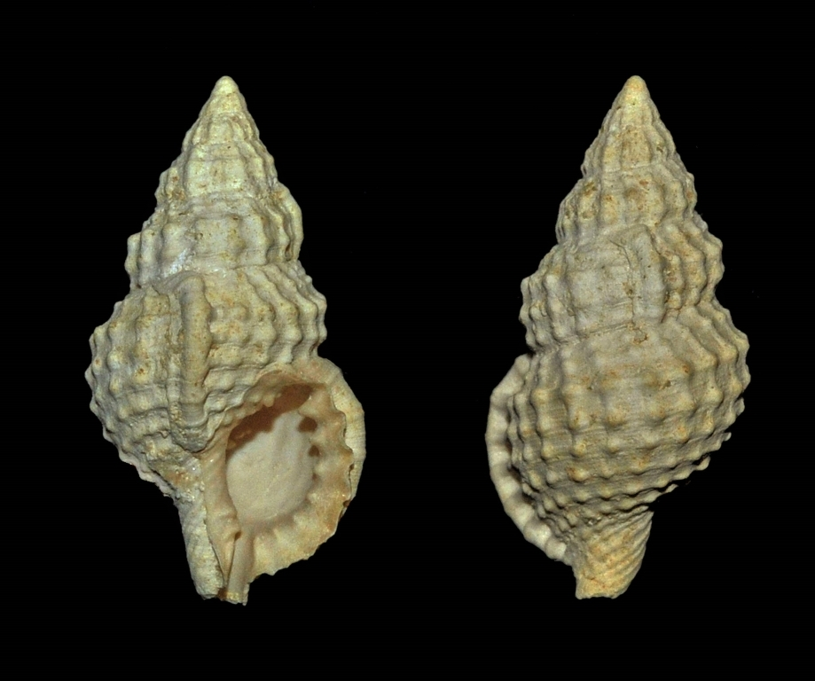 Sassia multigranifera - Grignon (22mm)
