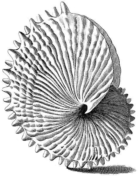 "Galtieri ""Index Testarum Conchyliorum"" (1742) - Argonauta nodosa ."