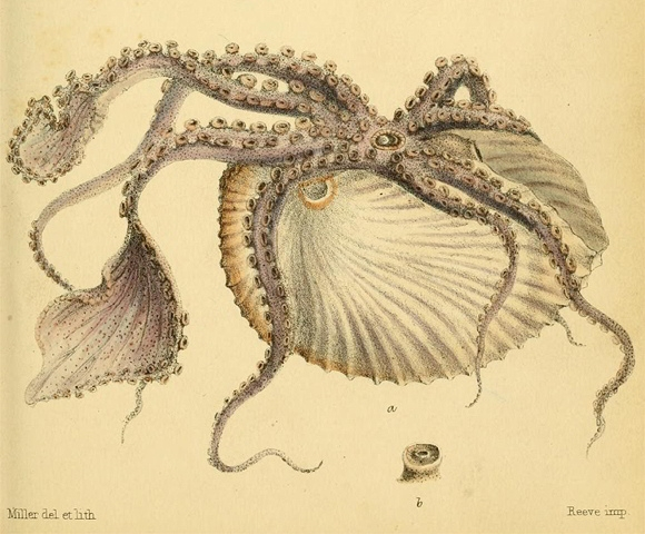 "L. A. Reeve ""Initiamenta conchologica""' (1846-1849) - Argonauta argo"