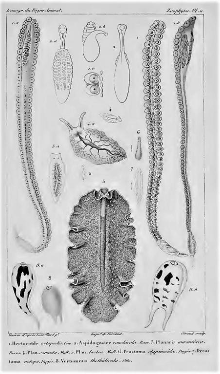 """Cuvier """"Règne animal"""" iconographie (1817). En haut gauche et droite : """"hectocotyle"""" de l'argonaute."""