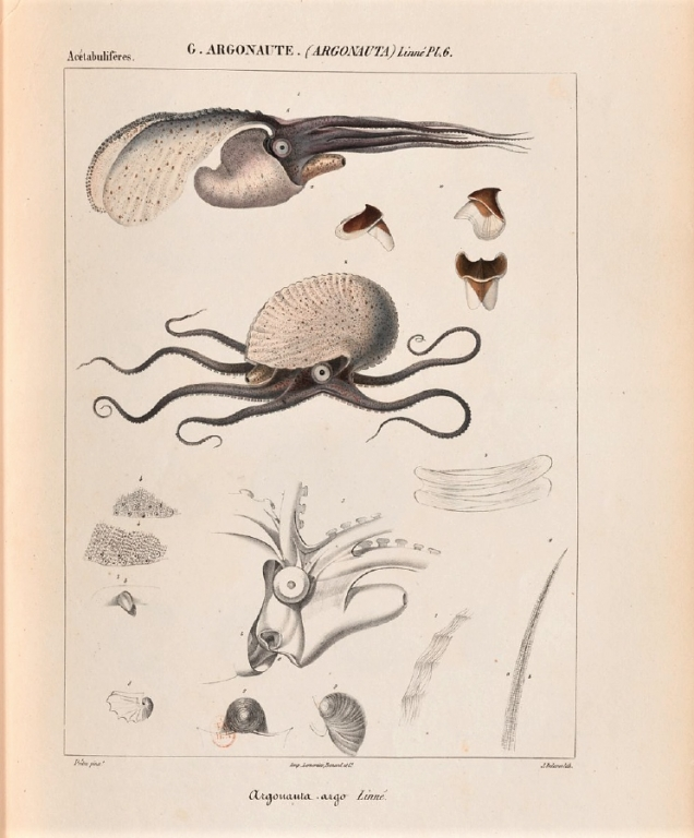 Alcide d'Orbigny - Histoire naturelle - Planche Argonauta argo (1835)